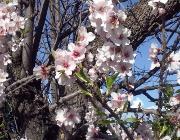 mallorca urlaub mandelblüte cw