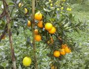 mallorca urlaub soller orangen cw